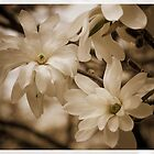 Snowball Magnolia by Cathy Donohoue