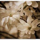 Snowball Magnolia by Cathy Donohoue