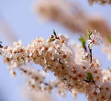 Spring Blooms by Micci Shannon