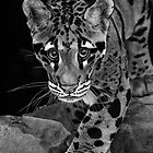 Yim -  The Clouded Leopard by Sheryl Unwin