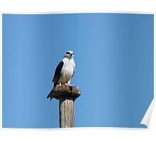 Black Shouldered Kite Poster