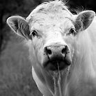 Charolais Bull by Bill Morgenstern