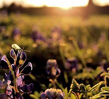 Green lacewing on Texas bluebonnet at sunset by aprilann