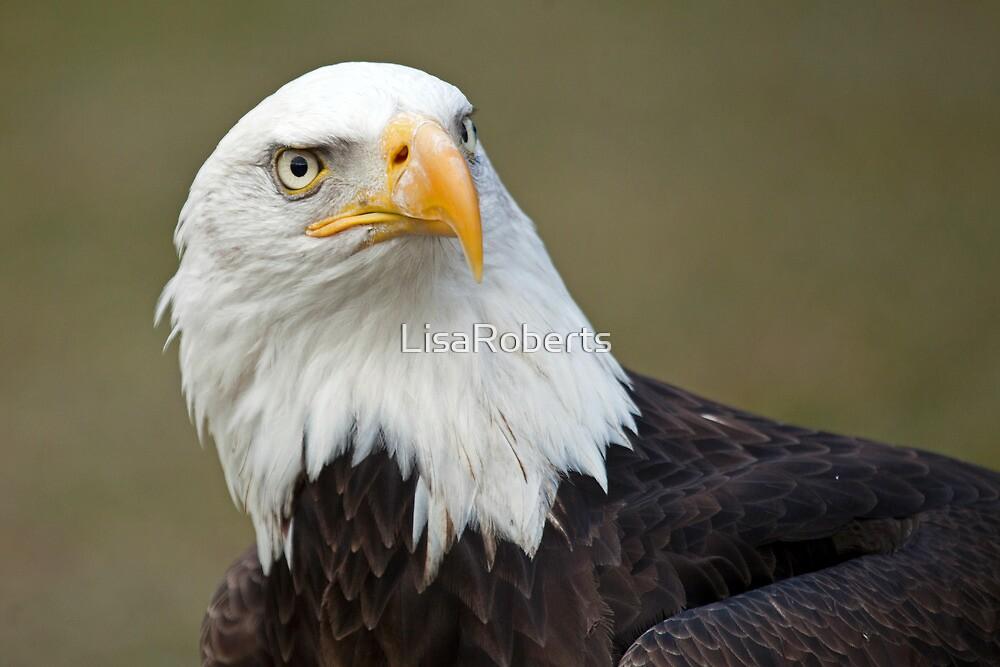 American Bald eagle by LisaRoberts
