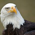 American Bald eagle by LisaRoberts