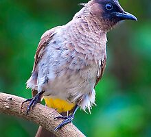 Cape Bulbul by Warren. A. Williams