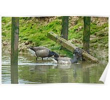 Brent Geese Poster