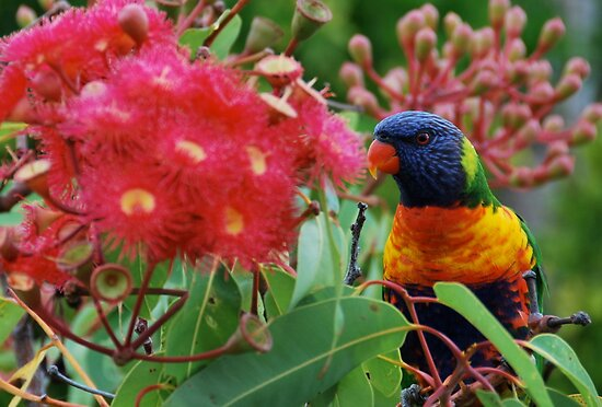 Rainbow Lorikeet by pictureit