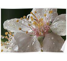 Oranamental Plum Blossom Poster