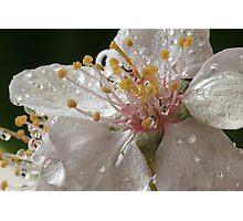 Oranamental Plum Blossom Photographic Print
