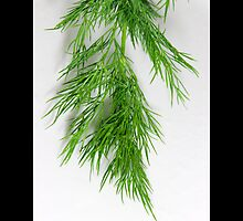 Anethum Graveolens [Lao Coriander] - Fresh Garden Dill by © Sophie W. Smith
