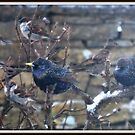 birds watching by NordicBlackbird