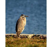 Majestic Heron Photographic Print