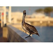 Pelican at The Pier  Photographic Print