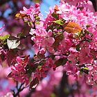 Pink Spring Crabapple Blossoms by hummingbirds
