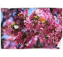 Pink Spring Crabapple Blossoms Poster