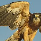 Swainson's Hawk by Linda Sparks