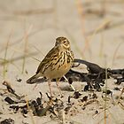 Meadow pipit by Jon Lees