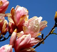 Looking UP at a Tulip Tree by ctheworld