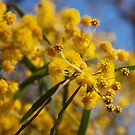 Wattle by kalaryder