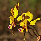 Pansy Orchids by kalaryder
