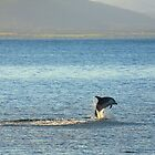 bottlenose dolphin. waubs bay, bicheno, tasmania. by tim buckley | bodhiimages photography