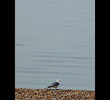 Larus Delawarensis - Lonely Ring-Billed Gull - Mount Sinai, New York by © Sophie W. Smith