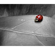 Ladybird on a leaf (4) Photographic Print