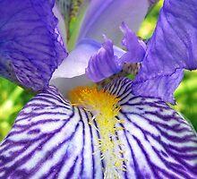 Purple Bearded Iris Monsignor Macro by BluedarkArt