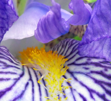 Purple Bearded Iris Monsignor Macro Sticker