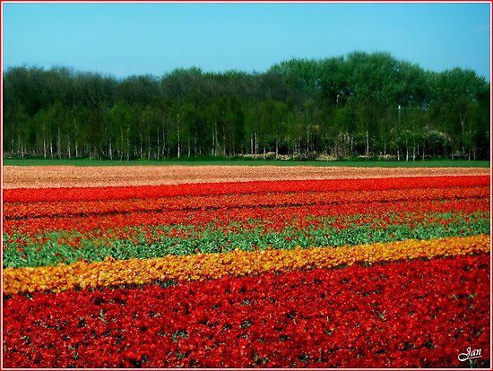 Tulip Field. by Janone