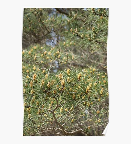 spring in the pine forest Poster