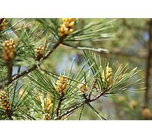 spring in the pine forest 2 Photographic Print