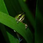 Dwarf Tree Frog by Gabrielle  Lees