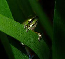 Dwarf Tree Frog by Gabrielle  Lees
