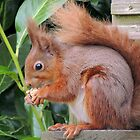 Red Squirrel 01 by Magic-Moments