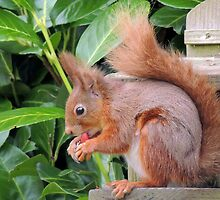 Red Squirrel 02 by Magic-Moments