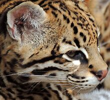 Ocelot 01 by Magic-Moments