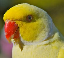 Yellow Ringneck Profile by peasticks