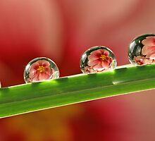 Pink primrose drops by Lyn Evans
