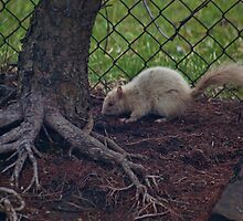 White squirrel by Penny Rinker