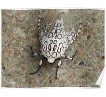 Injured Giant Leopard Moth Poster