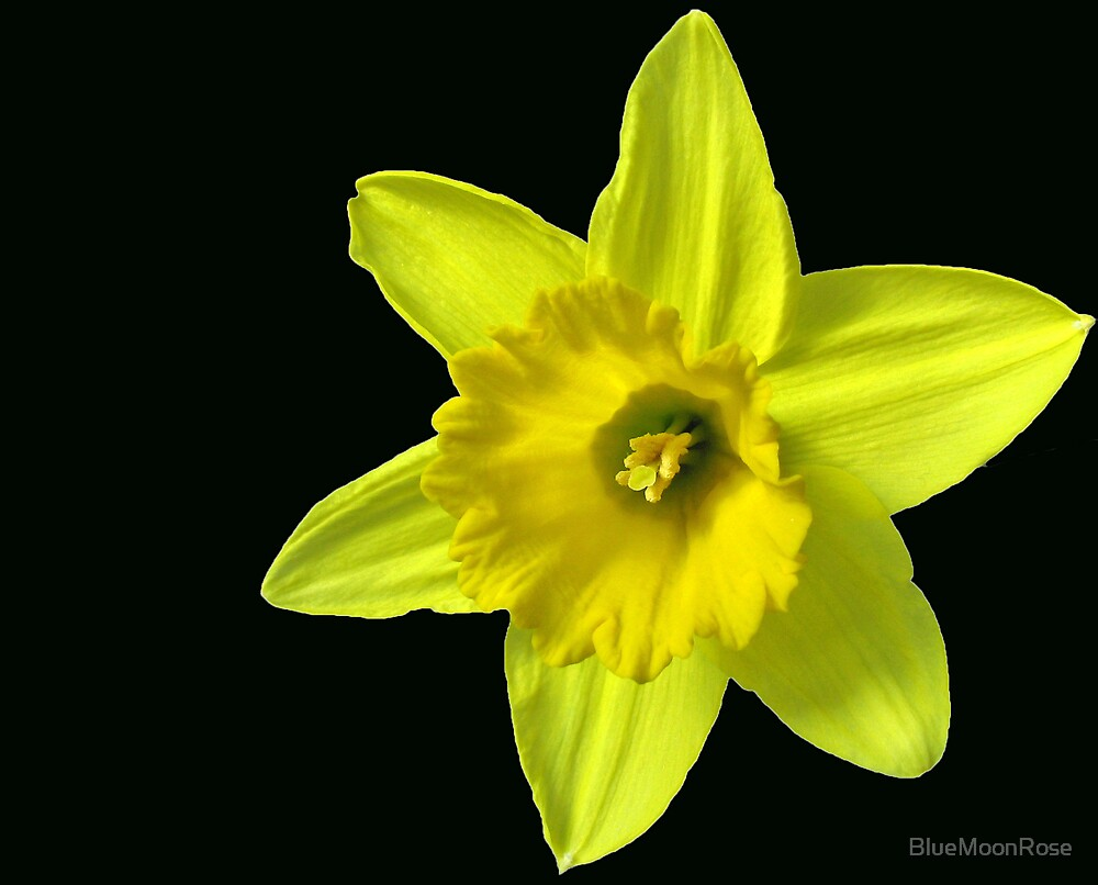 Daffodil Delight by BlueMoonRose
