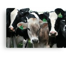 Jersey Cows Canvas Print