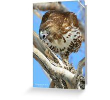 Red Tailed Hawk (Buteo jamaicensis) Greeting Card