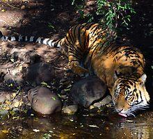 Tiger Eyes by nicolemckenna