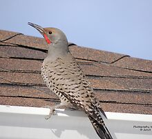 Northern Flicker (Colaptes auratus) by Rupa