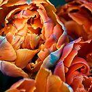 Tulips by franceshelen