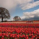 Tulip Farm by franceshelen