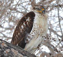 Ferruginous Hawk (Buteo regalis) by Rupa